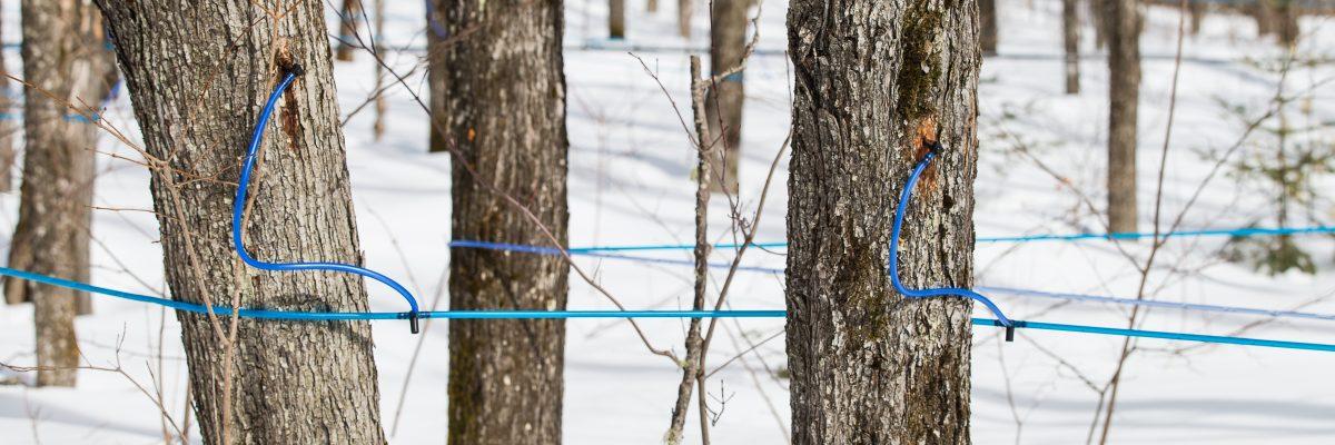 Le sirop d'érable au Québec :  une contribution économique à l'essor des localités