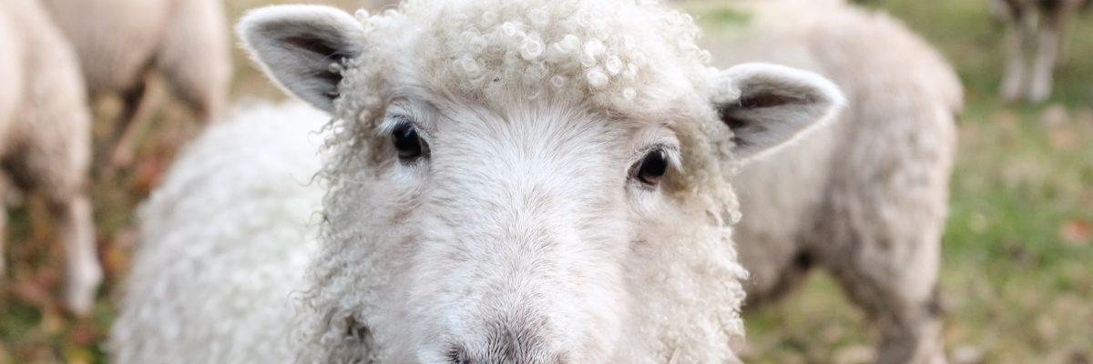 Filière ovine en Matanie, appel à la relève via une vidéo promotionnelle