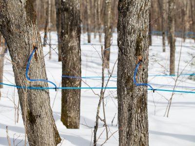 Le sirop d'érable au Québec : un modèle performant et adapté aux défis qui pointent